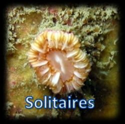 Cnidaire solitaire