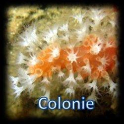 Cnidaire en colonies