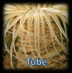 Cnidaire dans un tube