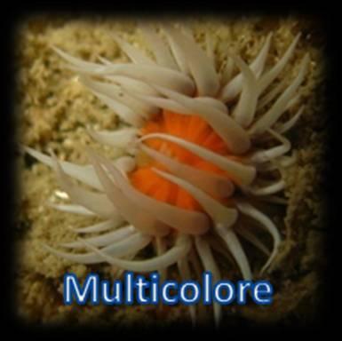 Cnidaire multicolore 1