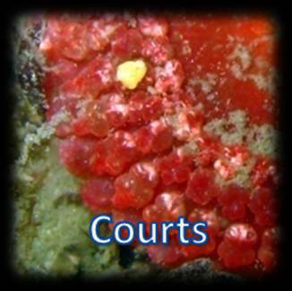 Tentacules courts