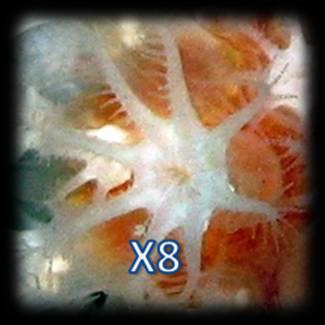 """Tentacules """"X8"""""""