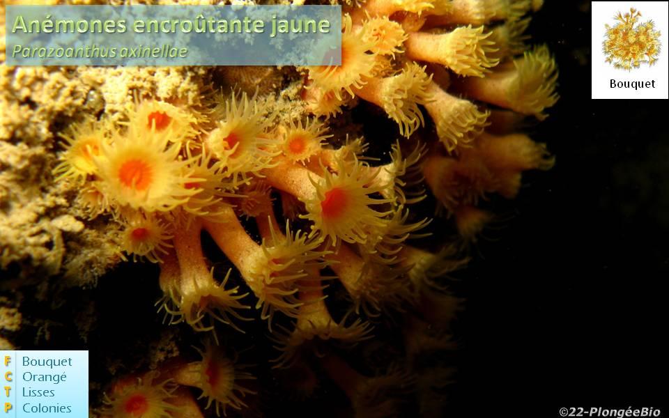 Anémône encroutante jaune - Parazoanthus axinellae