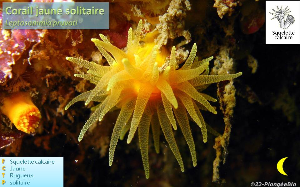 Corail jaune solitaire - Leptosammia pruvoti